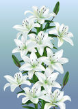 White lilies. Bouquet of white lilies on a blue background Royalty Free Stock Photo