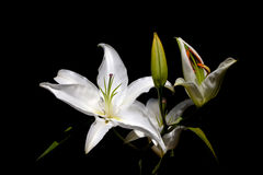 White lilies. On a dark background Royalty Free Stock Images