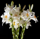 White lilies. White, homegrown blooming lilies on black background Stock Images
