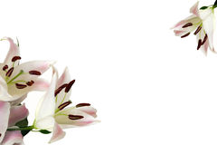 White lilies Royalty Free Stock Photos