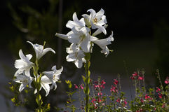 White lilies against dark background. Stock Photo