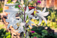 White lilies. Beautiful white lily flowers in a colorful sunlit garden Royalty Free Stock Image