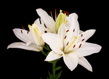 White lilies on black. Close up  white Easter Lilies(Lilium longiflorum) isolated against a black background Royalty Free Stock Image