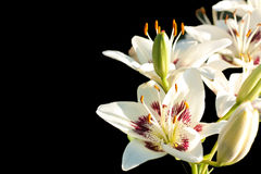 White lilies on a black background. White  asiatic lily on a black background Royalty Free Stock Photo