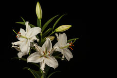 White Lilies On Black Background Royalty Free Stock Photography