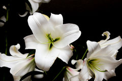 White lilies on a black background Royalty Free Stock Photography
