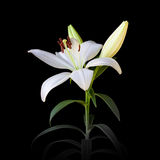 White lilies on a black background. Used for printing newspapers, advertising and design Stock Image