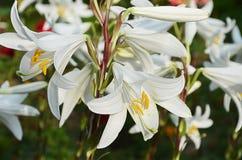White lilies Stock Photos
