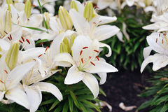 White lilies in bloom. On green background Stock Photos