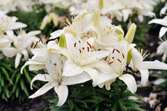 White lilies in bloom. On green background Stock Photography