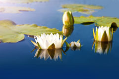 White lilies blooming in the pond Stock Images