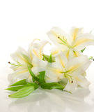 white lilies ' bunch Royalty Free Stock Photography