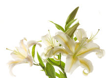 White lilies ' bunch Stock Images
