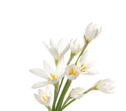 White lilies ' bunch Royalty Free Stock Photos