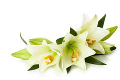 White lilies. Stock Photos