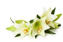 White lilies. Stock Photos
