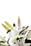 White lilies with copy space Royalty Free Stock Photos