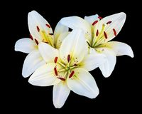White lilies on a dark background in the garden on a light summer day_ stock photography