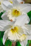 White lilies with dew drops Stock Images