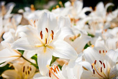 White lilies field. Many white lilies in a garden Royalty Free Stock Photography
