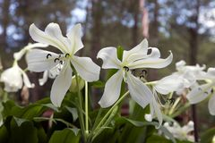 White Lilies Flower in a park Royalty Free Stock Photos