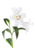 White lilies flowers Stock Image