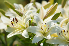 White lilies in a garden Stock Image