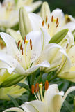 White lilies. In the garden Stock Photo