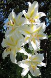 White lilies. In a garden Stock Photography