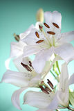 White lilies on a green background Royalty Free Stock Photos