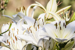 White lilies. Grow in the garden Stock Photos
