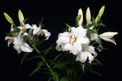 White lilies isolated on black Royalty Free Stock Images
