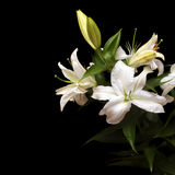 White lilies isolated on black Royalty Free Stock Photography