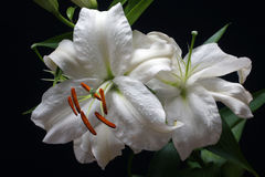 White lilies isolated on black Stock Image