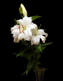 White lilies isolated on black Royalty Free Stock Photos