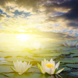 White lilies on a lake. Closeup white lilies on a lake at the sunset Royalty Free Stock Photos