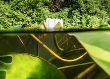 White lilies on the lake. view over the water and under the wate Royalty Free Stock Photo