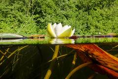 White lilies on the lake. view over the water and under the wate Royalty Free Stock Images