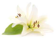 White lilies. Large white lilies on a white background Royalty Free Stock Photo