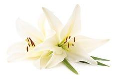 White lilies. royalty free stock photo