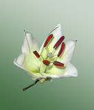 White Lilies. On a light background Stock Photos