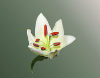 White Lilies. On a light background Royalty Free Stock Image