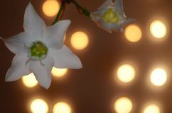 White lilies Stock Images