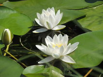 White lilies. Lovely white lilies in a pond Stock Photo