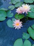 White Lilys in my pond Blooming. stock photography