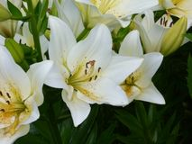 White lilies in New York royalty free stock image