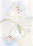 White Lilies. Original Watercolour illustration of Three White Lilies Stock Photo