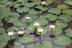 White lilies in pond Stock Photography