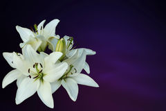 White lilies on purple background Royalty Free Stock Photo
