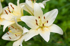 White lilies with rain drops in the garden Stock Images